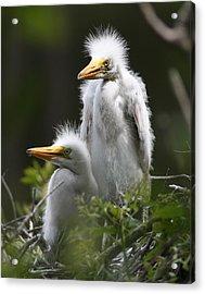 Egret Chicks 16x20 Acrylic Print by David Lynch