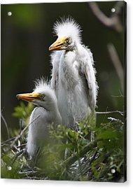Egret Chicks 8x10 Acrylic Print by David Lynch