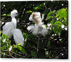 Egret Chicks Acrylic Print