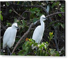 Egret Chicks Waiting To Be Fed Acrylic Print