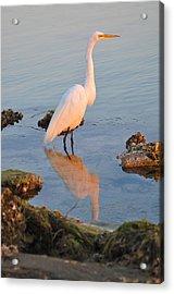 Egret - Dunedin Florida Acrylic Print by Bill Cannon