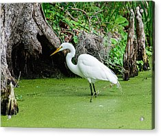 Acrylic Print featuring the photograph Egret Fishing by John Johnson