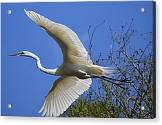 Egret Flying Acrylic Print by Judith Morris