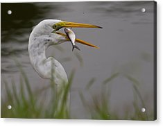 Acrylic Print featuring the photograph Egret Having Lunch by Jerry Gammon