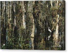Egret In Big Cypress Acrylic Print