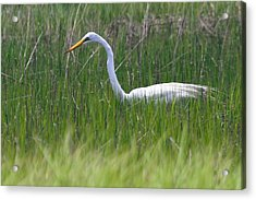 Egret In Core Sound Acrylic Print by Cathy Lindsey