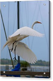 Egret In Flight Acrylic Print by Debra Forand