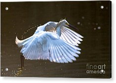 Egret In Flight II Acrylic Print