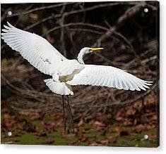 Egret In Flight Acrylic Print by Mr Bennett Kent