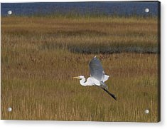 Egret In Flight Over Swamp Grass Acrylic Print