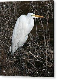 Egret In Reeds 16x20 Acrylic Print by David Lynch