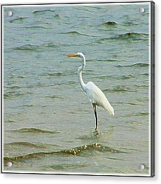 Egret In The Shallows Acrylic Print