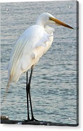 Acrylic Print featuring the photograph Egret by John Collins