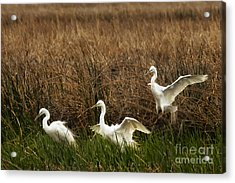 Egret Landing Acrylic Print by Belinda Greb