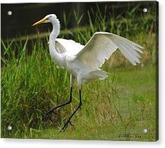 Egret Landing Acrylic Print