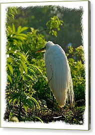 Egret Morning Acrylic Print by Wynn Davis-Shanks