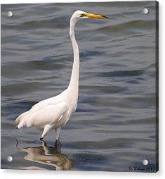 Egret On Alert Acrylic Print
