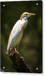 Cattle Egret Perched On Dead Branch Acrylic Print