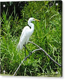 Egret Perching On Branch Acrylic Print by Dan Williams