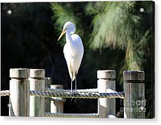 Egret Acrylic Print by Shannon Rogers