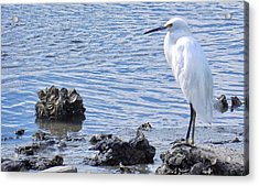 Egret Standing Perfectly Still Acrylic Print