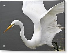Egret Take Off Acrylic Print by Paulette Thomas