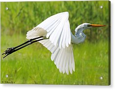 Egret Takes Flight Acrylic Print by Dan Williams