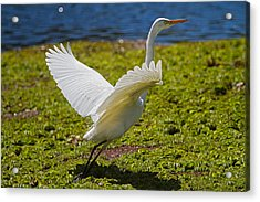 Egret Taking Off Acrylic Print by Mr Bennett Kent