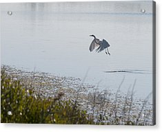 Egret Taking Off Acrylic Print