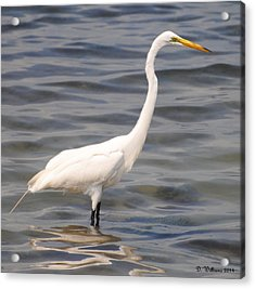 Egret Wading And Watching Acrylic Print