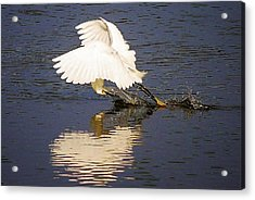 Egret With A Heart Reflection Acrylic Print by Paulette Thomas