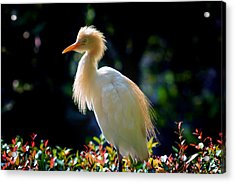 Egret With Back Lighting Acrylic Print