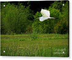 Egret's Flight Acrylic Print