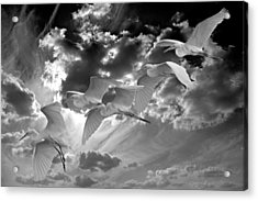 Egrets In Succession Bw Acrylic Print