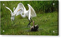 Egrets Taking Flight Acrylic Print