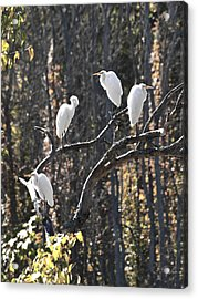 Egrets Acrylic Print by Valerie Wolf