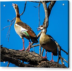 Egyptian Geese Acrylic Print by Craig Brown