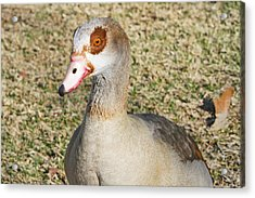 Egyptian Goose  Acrylic Print by Shoal Hollingsworth