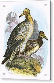 Egyptian Vulture Acrylic Print by English School