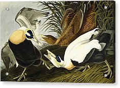 Eider Ducks Acrylic Print by John James Audubon