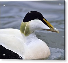 Eider Up Acrylic Print by Tony Beck