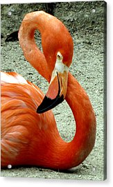 Figure Eight Flamingo Acrylic Print
