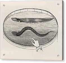 Electric Eel In A Tank Of Water Acrylic Print by King's College London