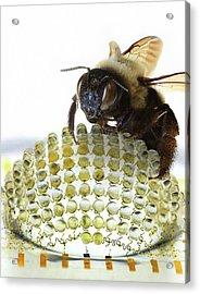 Electronic Compound Eye With Bee Acrylic Print by Professor John Rogers, University Of Illinois