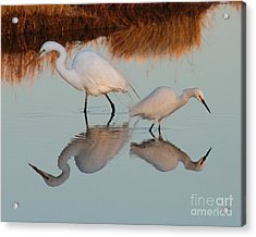 Elegant Big And Small Great White And Snowy Egrets Acrylic Print