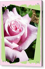 Elegant Royal Kate Rose Acrylic Print by Will Borden