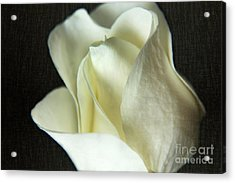 Elegant White Rose Textured Acrylic Print