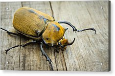 Elephant Beetle Acrylic Print by Aged Pixel
