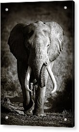 Elephant Bull Acrylic Print by Johan Swanepoel