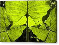 Elephant Ear Leaves In The Rainforest Acrylic Print
